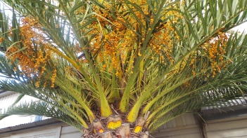 A street-side palm tree with berries
