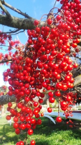 Trees covered with these red berries, no leaves, but bunches of bright red
